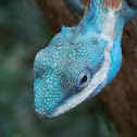 Blue Crested Tree Lizard