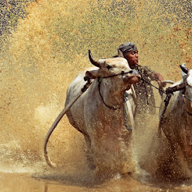 Cow Race  by M Reza Saptodi - News & Events Entertainment