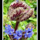 Cyanotis tuberosa wildflower