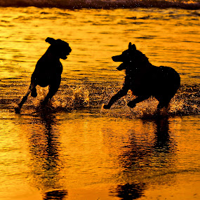 sunset jog with best friend by Magdalena Wysoczanska - Animals - Dogs Playing ( friends, dogs, colors, sunset, silhouette, pets, running, golden,  )