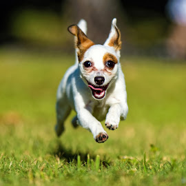Flying Mia by Felix Collazo - Animals - Dogs Running ( flying, animals, dogs, cute, energy, eyes, rat terrier,  )