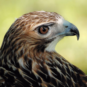 Red-tailed Hawk by Liz Crono - Animals Birds ( hawks, birds, raptors,  )