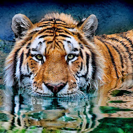 Cooling Down by John Larson - Animals Lions, Tigers & Big Cats
