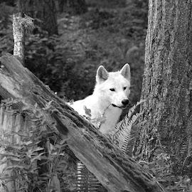 Wolf Peeking  by Alex Biebl - Animals Other ( nature, wolf, white wolf, wildlife, wolves, animal,  )