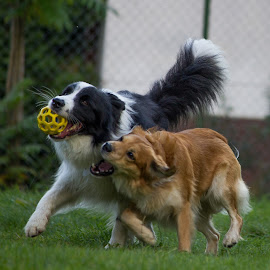 Micky and Ronie by Martin Jahn - Animals - Dogs Playing ( playing, ball, dogs, czech republic, animal )