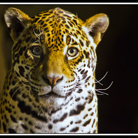 Leopard by Sue Matsunaga - Novices Only Wildlife (  )