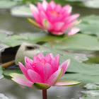 Pink Water Lily (Nymphaea sp.)