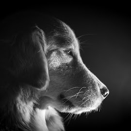 Flora the retriever by Reza Roedjito - Animals - Dogs Portraits