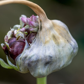 Seed Pod by Simon Forster - Nature Up Close Other plants ( seed pod, macro, nature, breaking out, seeds,  )