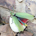 Green Milkweed Locust or African Bush Grasshopper