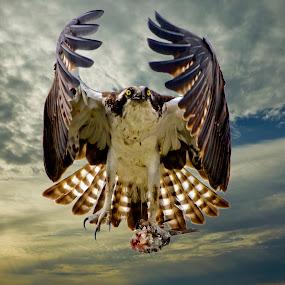 Bringing home breakfast by Sandy Scott - Animals Birds ( birds of prey, osprey in flight, fishing birds, florida birds, birds, , bird, fly, flight )