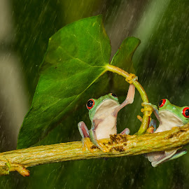 You And Me Alone In Jungle  by Kutub Macro-man - Animals Amphibians ( animals, wild life, nature, red eye tree frog, , baby, young, animal )