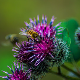 Bee at work by Draghici Andrei - Novices Only Macro ( macro, thistle, bee,  )