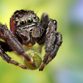 Leviatan by Ondrej Pakan - Animals Insects & Spiders ( macro, dew, jumping spider, spider, dew drops, insect )
