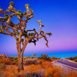 Road to Joshua Tree 3103 by Ken Wade - Landscapes Travel ( national park, highway, joshua tree, sunrise, travel, , path, nature, landscape )