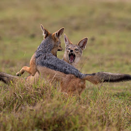 Aggression by Matrishva Vyas - Animals Other Mammals ( two, battle, mara, fight, action, jackal )