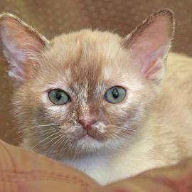 Ada by Mia Ikonen - Animals - Cats Kittens ( kitten, finland, endearing, young, burmese,  )