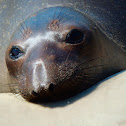 Elephant Seal (youngsters)