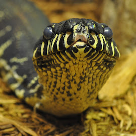 Boelen's Python by Crystal Senski - Animals Reptiles ( python, snake, zoo, looking forward, hissing )