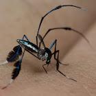 Iridiscent jungle mosquito