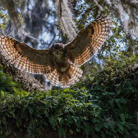 Great Horned Owl by Robert Strickland - Animals Birds ( studio, owl eyes, stare, yellow, feather, predator, nature, watching, horned, raptor, eye, wild animal, wild, isolated, attentive, alert, white, one animal, prey, mammal, portrait, virginianus, obedient, outdoors, owl, animal themes, cut out, natural, face, brown and white, side view, wildlife, bubo, looking, carnivore, nocturnal, looking at camera, closeup, animal, species, avian, creature, vertebrate, bird, hunter, great, beak, brown, square, standing )