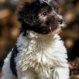 by Renos Hadjikyriacou - Animals - Dogs Puppies