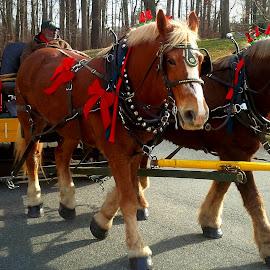 Holiday Horsies by Cecilia Sterling - Animals Horses ( holiday hayride, horses, horse, belgian draft horses, hayride,  )