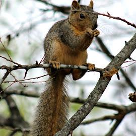 So. Tx. Squirrel by Michelle Ruiz - Novices Only Wildlife ( squirrel,  )