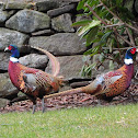 Ring Necked Pheasants