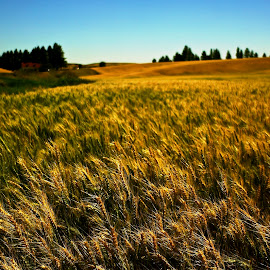 Amber Waves by Glenn Roesener - Landscapes Prairies, Meadows & Fields ( farm, wheat, field, nature, country )