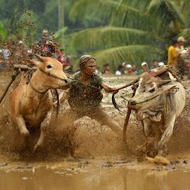 cow race by Boby Hermawan - Sports & Fitness Other Sports