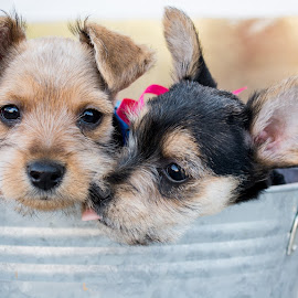 Puppy Love by Bobbi Steele - Animals - Dogs Puppies ( love, animals, dogs, puppy, siblings )