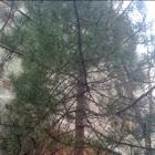 Pinus thunbergi - Japanese black pine