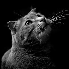 by Charmaine Hand - Animals - Cats Portraits ( cats, cat, black & white, scottish fold, family pet, kitty )