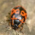 Knab's leaf beetle