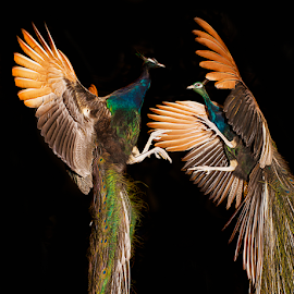 Peacock Fight by Don Alexander Lumsden - Animals Birds