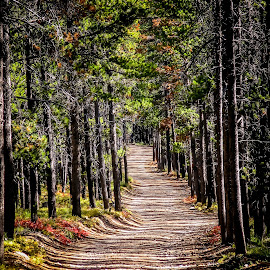 A Long Journey by Cindy Luelling - Landscapes Forests ( dirt road, summer, trees, forest, landscape )