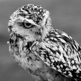 Burrowing Owl by Ralph Harvey - Black & White Animals ( bird, owl, wildlife, ralph harvey, feather )