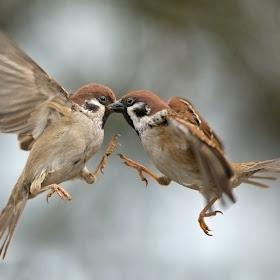 passer-sparrow-002.jpg