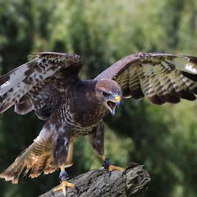 Angry Bird  by Ceri Jones - Animals Birds ( bird, anger, buzzard, prey, perch )