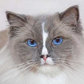 Ragdoll Simba by Mia Ikonen - Animals - Cats Portraits ( ragdoll, gentle, finland, lovely, expressive )