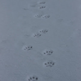 *Warning* Kitten crossing by Naia Eggert - Animals - Cats Kittens ( kitten, snow, trail, paws, cute, path, nature, landscape )
