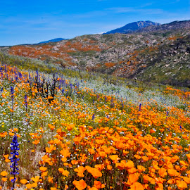 Wild Flowers all over the Hills by Patrick Flood - Landscapes Mountains & Hills ( canon, mt san jacinto, photosbyflood, california, poppies, wilson canyon, spring, wild flowers )
