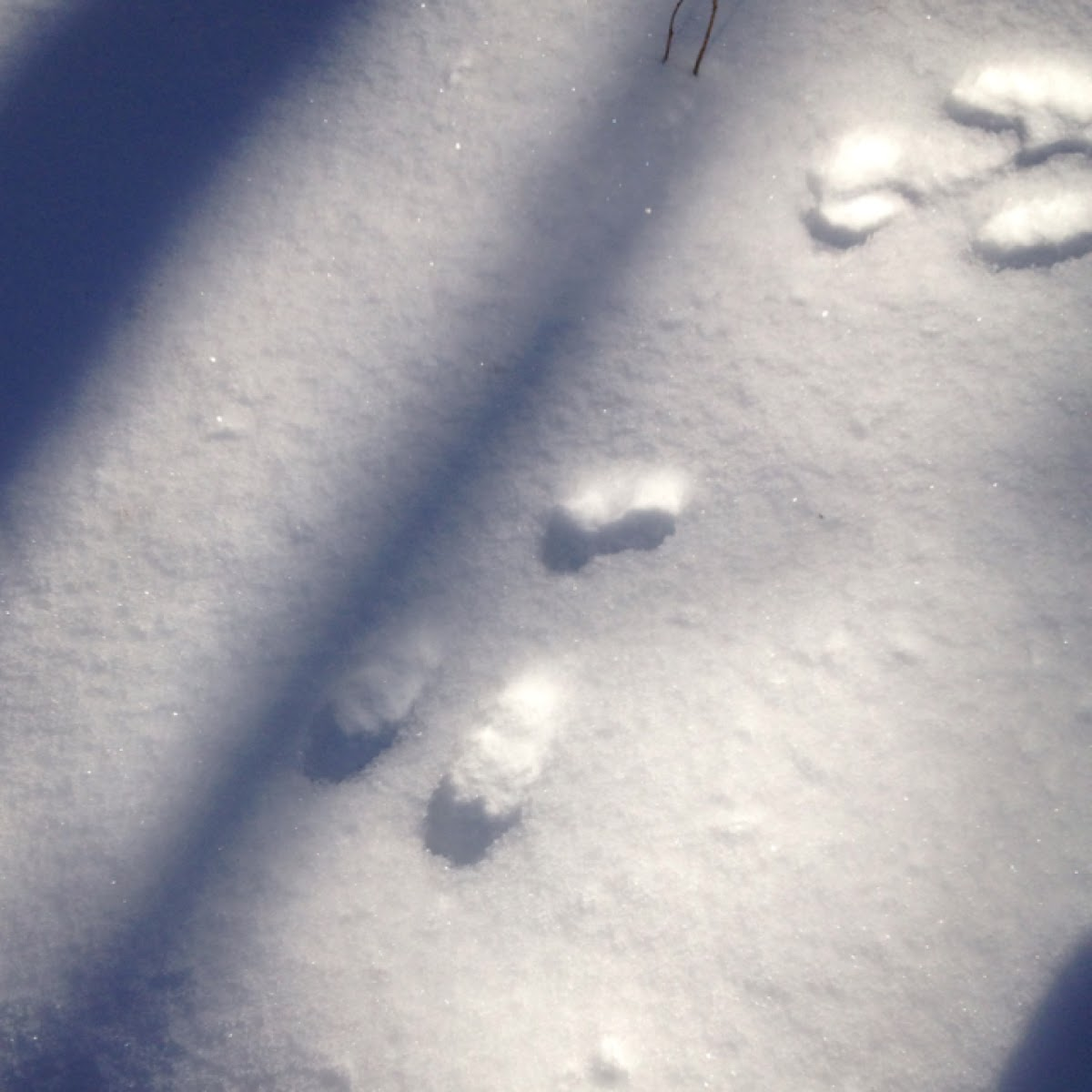 Cottontail rabbit tracks