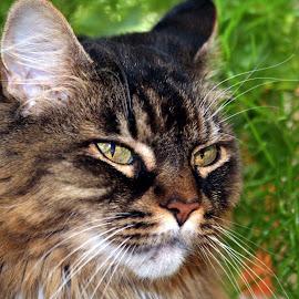 by Jody Frankel - Animals - Cats Portraits