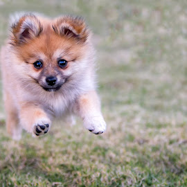 Pounce by Gary Want - Animals - Dogs Puppies ( puppy, dog, run, pounce, bound, pomeranian )
