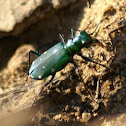 6 spotted tiger beetle