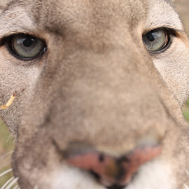 Close Up! by Maureen Figueira - Animals Lions, Tigers & Big Cats ( big cat, cat, cougar, panther, eyes )