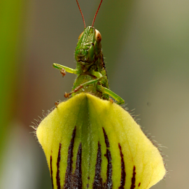 Grasshopper by Mukti Je - Novices Only Macro