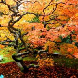 Maple Tree in Fall by Edie Delzer - Nature Up Close Trees & Bushes ( nature, seasons, autumn, colors, fall, trees, japanese, leaves, maple )